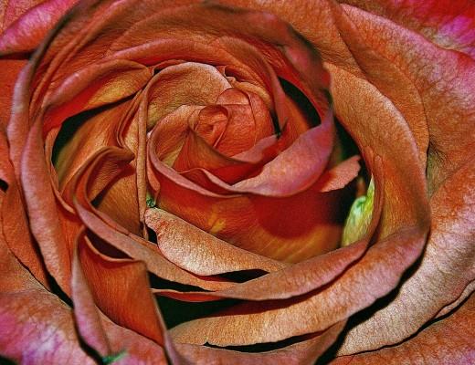 roses-320208_1280