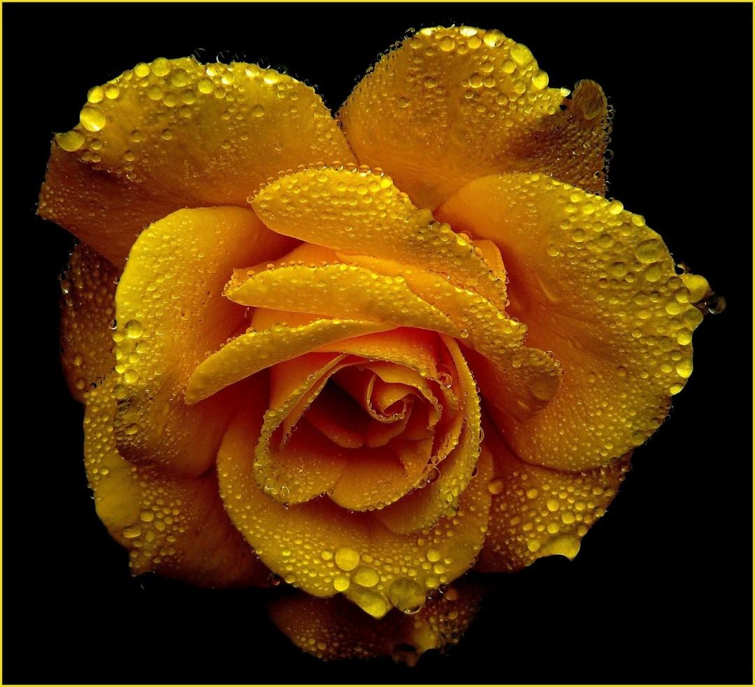 rose-361517_1280